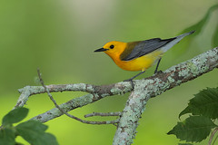 Prothonotary Warbler (Greg Lavaty Photography) Tags: statepark bird nature yellow texas wildlife may warbler brazosbend prothonotarywarbler protonotariacitrea