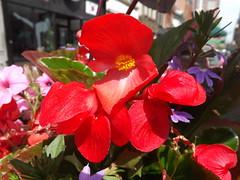 Colorful Flower Close-up, Newark Avenue, Jersey City, New Jersey (lensepix) Tags: flower newjersey jerseycity colorful flowercloseup colorfulflower newarkavenue