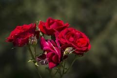 Rosas en ramo (seguicollar) Tags: madrid flores flower planta rojo plantas flor rosas ramo vegetal jardn rosaleda vegetacin rojas parquedelretiro airelibre nikond5200 virginiasegu