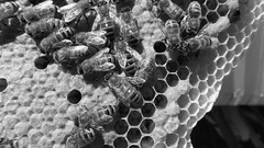 """Carniola hive H2G """"capped-brood"""" MAY 2016 (BW) ATTR-NODERV (nicephotog) Tags: macro closeup insect european cell bee worker nurse honeycomb capped honeybee beehive larvae colony brood apis mellifera"""