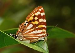 Orange Punch (Dodona egeon, Riodinidae), female (John Horstman (itchydogimages, SINOBUG)) Tags: china macro topf25 butterfly insect lepidoptera punch yunnan riodinidae itchydogimages sinobug