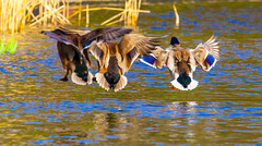Threesome (Steve-h) Tags: nature natur natura naturaleza bird birds ducks drakes hybrid mallard mallards sun sunny sunshine sunlight aquaticbird swim swimmers swimmer swimming landing fly flying flight threesome trio boys girls mating game breeding season water pond lake reflections reeds gold green blue brown chestnut beige colour colours spring march 2016 park bushypark dublin ireland canon camera lens ef ef100400mm eos eos5dmkii digital exposure steveh colorful europa europe eu allrightsreserved