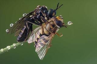 Robberfly - Zwarte bladjager