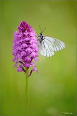 Aporia crataegi on the Anacamptis pyramidalis (valpil58) Tags: macro spring nikon orchids bokeh butterflies 80200mm d600 anacamptis aporia crataegi pyramidalis