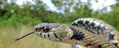Grass Snake (Natrix natrix helvetica) (Nick Dobbs) Tags: grass reptile snake heath dorset helvetica heathland natrix