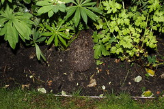 Hedgehog in my garden (j.a.sanderson) Tags: nature animal garden mammal wildlife hedgehog britishwildlife erinaceinae eulipotyphla erinaceinaeeulipotyphla