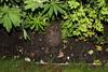 Hedgehog in my garden (j.a.sanderson) Tags: nature animal garden mammal wildlife hedgehog britishwildlife erinaceinae eulipotyphla erinaceinaeeulipotyphla