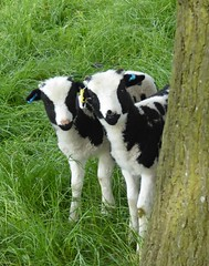 Two Kids. (jenichesney57) Tags: trees brown white grass animals kids panasonic goats curious peeping baaaaark