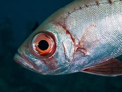 Bigeye(1) (altsaint) Tags: fish underwater egypt panasonic 45mm hurghada bigeye gf1