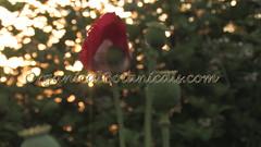 Danish Flag Papaver Somniferum Opium POPPY Pods n Flowers by- OrganicalBotanicals_Com 13 (gjaypub) Tags: flowers plants nature silhouette photography pod photos gardening bees seed seeds poppy poppies growing opium pods cultivation papaver somniferum morphine cultivating papaversomniferum 2016 potency poppyhead alkaloids organicalbotanicals