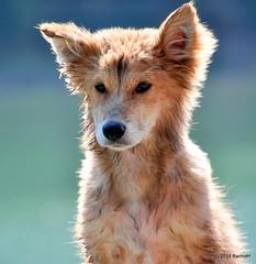 DSC_0578 (rachidH) Tags: nepal chien lake dogs nature puppies pokhara fewa phewa chiot strays rachidh chiensdesrues