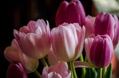 tulips (Bill Oriani) Tags: austin nikon texas d7000 billoriani lightroom4