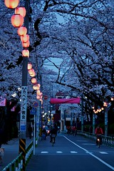 Row Of Sakura At Night (wolfives) Tags: street japan portraits landscape candid omd 100300mm m43 em5 lumixgvario