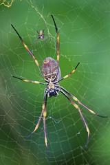 Big and little (Deb Jones1) Tags: green nature beauty canon insect outdoors spider australia flickrawards debjones1
