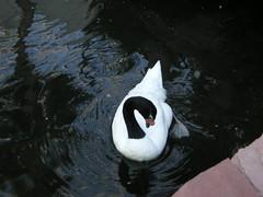 DSCN1275 (jblueafterglow) Tags: usa animals lasvegas nevada swans 2011 flamingohotelandcasino lasvegasnevadausa june2011