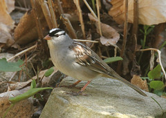 White Crowned Sparrow-IMG_5811-Crop (mandovinnie) Tags: