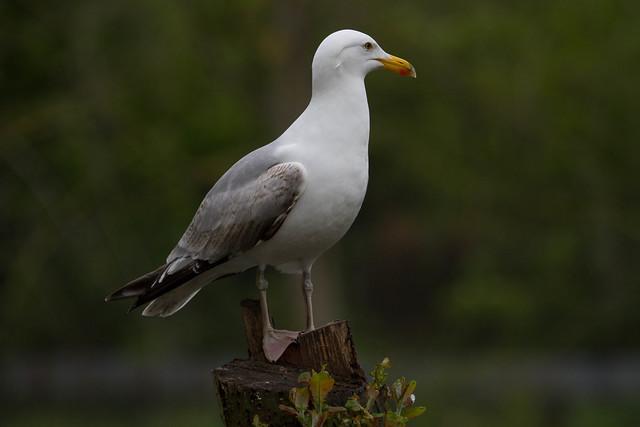 Not good at my gulls