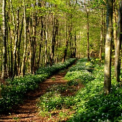 Wild Garlic Time (ian.robertson.63) Tags: woodland spring track path ayrshire wildgarlic ransoms