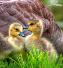 Nature's Little Darlings (*~ Nature's Gifts Captured  ~*) Tags: canada nature grass birds geese newjersey spring nikon soft babies fuzzy sweet wildlife goslings tami specanimal d300s naturesgiftscaptured hrycak