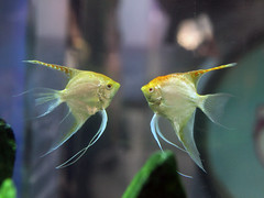 Gold Angelfish  (DigiPub) Tags: fish angelfish   pterophyllum    goldangelfish