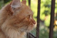 bulita de caramelo (deadoll) Tags: red eye cat canon 50mm ginger eyes kitten kat chat penelope balcony olhos caramel gato penny 7d gata neko kit ruiva sacada tigrado caramelo sooc gatotigrado canon7d catnipaddicts bulitas