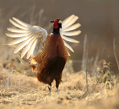 Pheasant Phasianus colchicus (richie0172) Tags: wild male bird nature pheasant phasianuscolchicus gamebird galliformes phasiandae flight2012