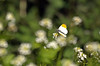 Male Orange tip (Mr Grimesdale) Tags: butterfly orangetip orangetipbutterfly stevewallace britishbutterflies mrgrimesdale maleorangetip