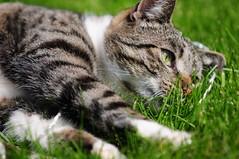 Entspannung in der Sonne (Nikkor DX) Tags: tiger grau gran katze grün braun spielen kurzhaar weis liegend süs ekh europäisch entspannend ausruhend