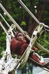 Orangutan [05.06.12] (Andrew H Wagner | AHWagner Photo) Tags: park animal canon eos zoo smithsonian dc washington districtofcolumbia national 7d orangutan ape f2 135mm primates zoological 135l f2l