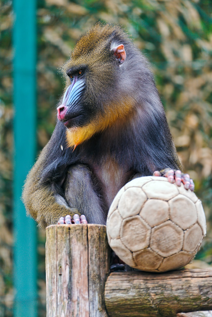Mandrill posing with ball by Tambako the Jaguar, on Flickr