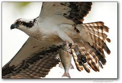 Osprey Fishing #2