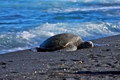 Hawaiian Green Sea Turtle on Black Sand (levork) Tags: sea black green nature hawaii sand turtle wildlife hawaiian punaluu