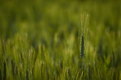 Grano (FabrizioPascucci) Tags: verde green colors countryside natural country campagna fabrizio campaign colori grano pascucci spiga fabriziopascucci
