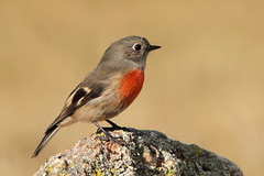 Scarlet Robin female (kasia-aus) Tags: red bird nature robin animal female scarlet may australia act 2012 tidbinbilla
