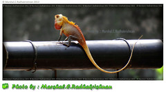 Chameleon-Indian Chameleon- Photo by Marshal.C.Radhakrishnan (INDIA) (marshalbond007) Tags: nature colours marshal animalplanet animalkingdom colourchange animalworld onthu chameleonindianchameleonphotobymarshalcradhakrishnanindia onthuinmalayalam