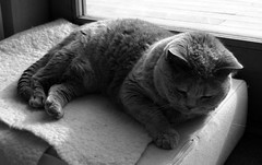 Nap Time - Brussels, Belgium (Janicskovsky) Tags: old brussels blackandwhite bw hairy white holiday black slr eye contrast cat fur french paw eyes furry nikon feline nap belgium sleep highcontrast fluffy bruxelles tired belgian paws dslr lying flemish britishshorthair francais flanders chartreux liedown d80 nikond80