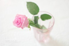 (Nora saleh) Tags: pink flower rose google flickr nora norah noor  2012 saleh 2011