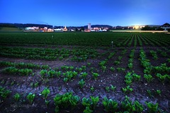 Feeld of beet (Grandgi) Tags: canon landscape eos noche culture paisaje bynight terre campo 5d paysage soir herd nuit champ tierra broye romandie betterave eos5d 5dmkii betavel marcgrandgirard