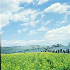 two-tone (joytrip*) Tags: sky flower film japan clouds colorful wind     ibaraki fieldmustard nemophila   portra400     nikkorp75mmf28 zenzabronicas2 hitachiseasidepark