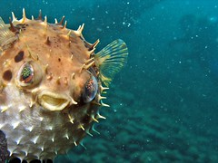 the way you look tonight (puffer fish) explore (DOLCEVITALUX) Tags: fish fugu spine pufferfish blowfish
