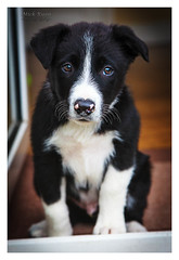 Skye The Sheepdog Puppy (Mick Ryan Photography) Tags: dog skye collie sheepdog