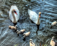 Are You Sure They Are All Here ? (nilacop) Tags: nature birds wildlife swans chicks cygnets