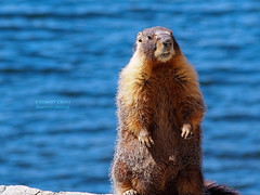 """Look lady, I don't know what to tell you. I'm just NOT a beaver."" (RobertCross1 (off and on)) Tags: portrait lake nature water animal nationalpark wildlife olympus yosemite tele critters marmot sierranevada omd highsierra easternsierra marmota tiogalake yellowbelliedmarmot marmotaflaviventris 40150mm em5 40150mmf456mzuiko"