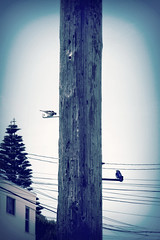 (giggie larue) Tags: sanfrancisco birds monochromatic telephonepole tonal highexposure inreallife tweeting giggie animapals sfspring2012