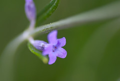 Fleur de lavande (Zaskars) Tags: flower macro green nature fleur purple pentax bokeh violet lavender jardin vert tamron 90mm lavande lorraine f28 57 flou moselle sarreguemines lavandula k10d