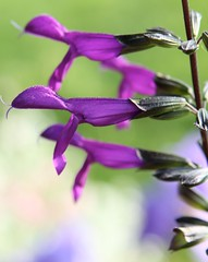 For the hummingbirds (secondhobby) Tags: flower purple blossom awesomeblossom blackblue mexicansage