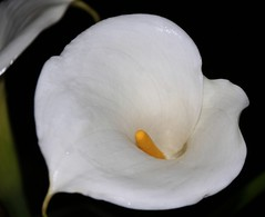 """Peace"" (Chrismatos 90% OFF, sorry) Tags: world flowers plants white flores macro green nature yellow garden flora plantas day places explore jardim mundo jarro alittlebeauty"