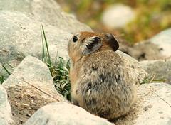 Royle's pika (Ochotona roylei) (Sylvre Corre) Tags: mammal wildlife himalaya moutains pika