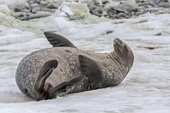 Weddell Seal, Stonington Island (bfryxell) Tags: wildlife antarctica weddellseal stoningtonisland