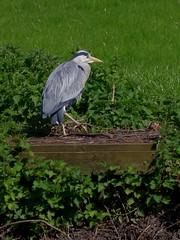 1247-06L (Lozarithm) Tags: birds rivers warwick herons k50 warks 55300 pentaxzoom riveravonwarks hdpda55300mmf458edwr